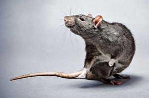 Soñar con ratas, rarones, otros roedores